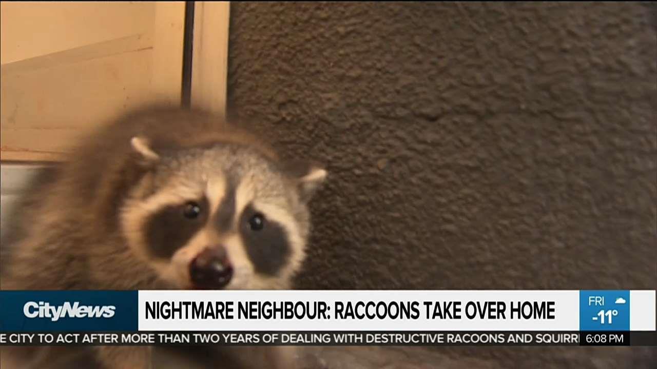 Nightmare neighbour dispute erupts as raccoons tear through Toronto ...