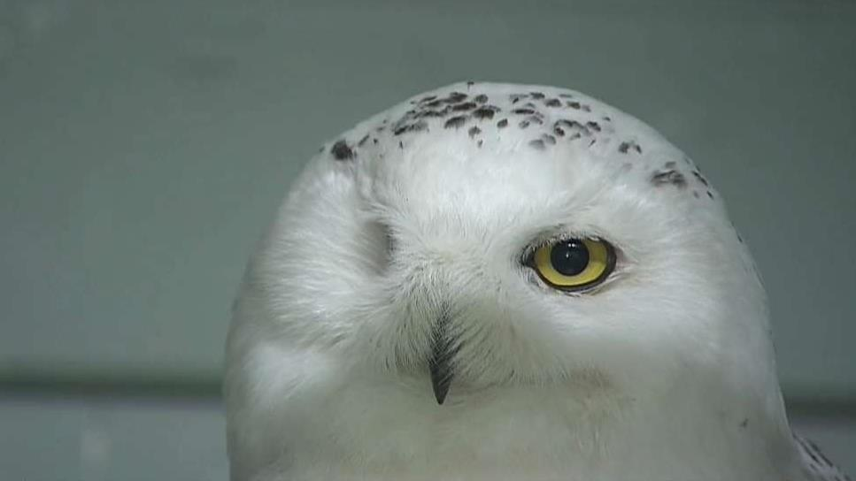 Increase In Snowy Owl Injuries