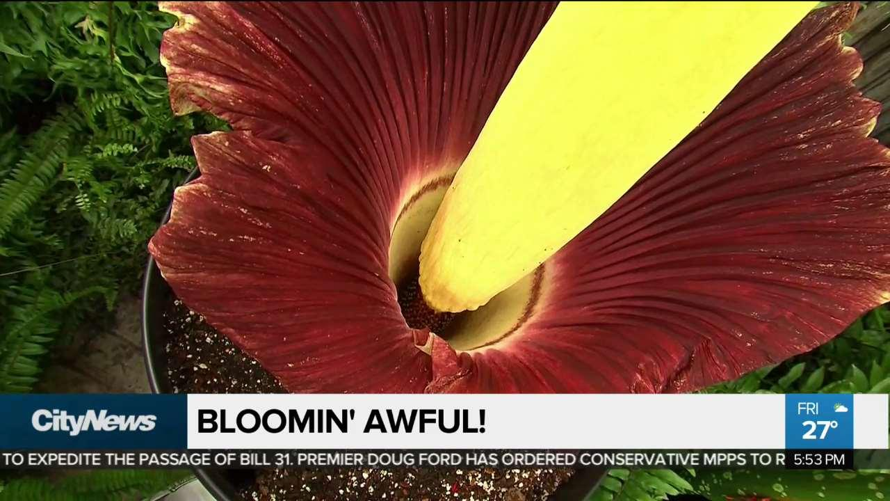 Rare And Stinky Corpse Flower Blooms At Toronto Zoo