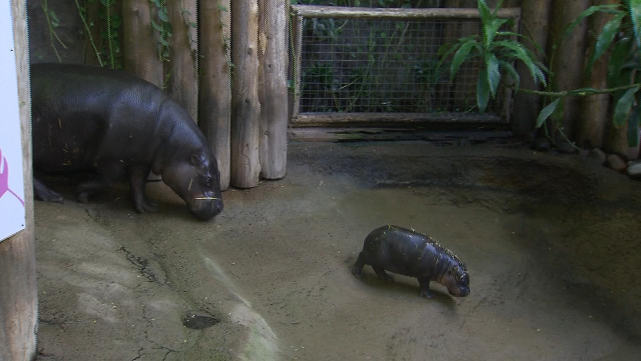 toronto zoo reveals name of pygmy hippo calf