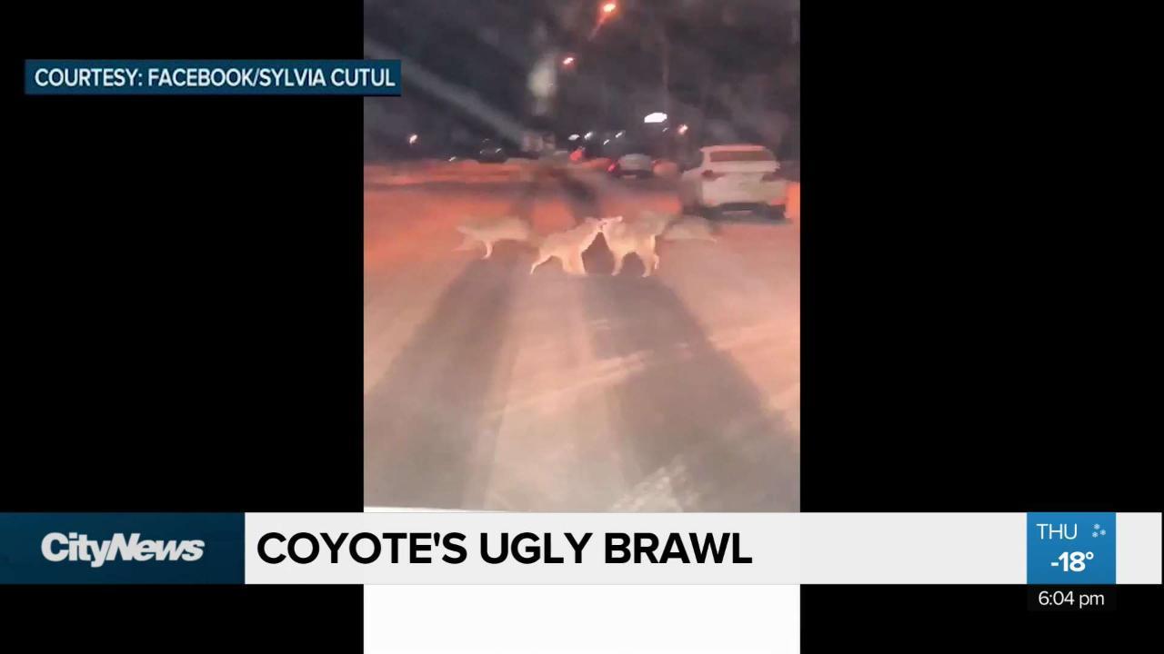 Coyote's ugly brawl