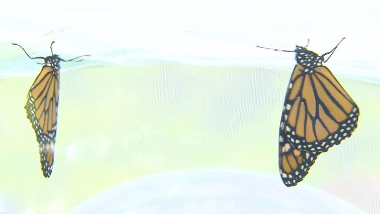Runners raise awareness about threats to Monarch Butterflies