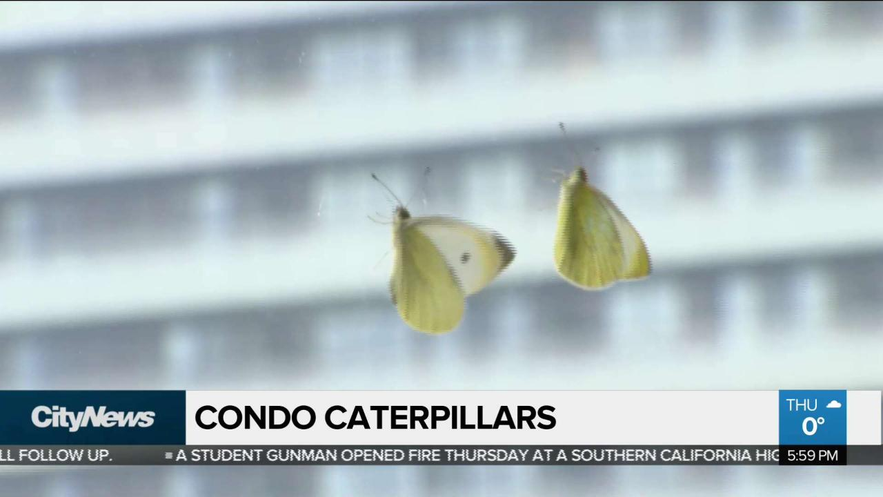 Caterpillars found in salad become condo pets