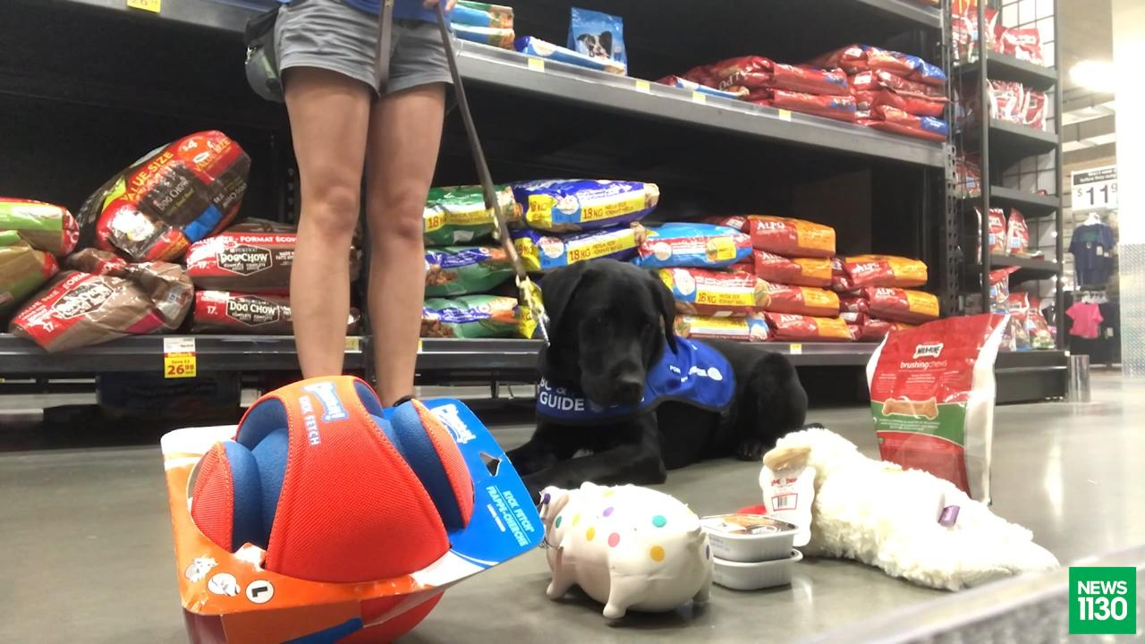 Physical Distancing Delays Vital Training To Get B C Guide Dogs